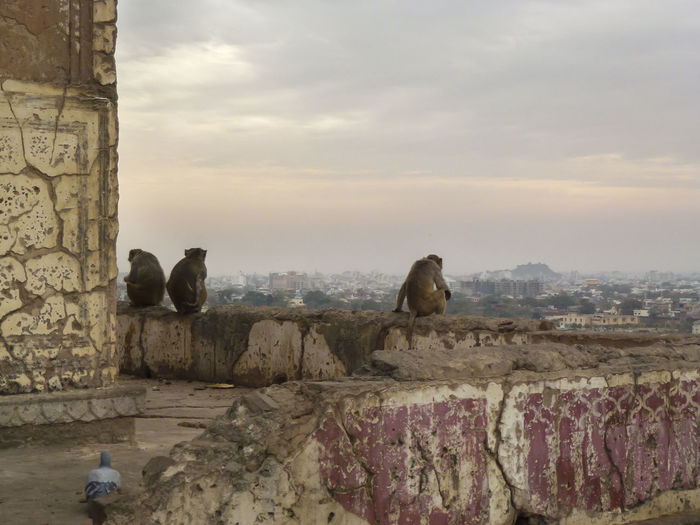 Monkeys at Surya Mandir temple Animal Themes Animals In The Wild City And Nature City Animals India Jaipur Monkeys Nature Outdoors Stone Material Travel Photography Urban And Nature Urban Animals Wall - Building Feature Wildlife