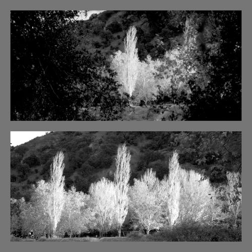 Three and one. Blackandwhite Nature Diptic Trees Bnw Collage