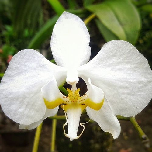 Putih itu suci. . Upload bersama @instanusantara Inub0541 Instanusantara Instanusantaramanado Sitoutimoutumoutou lovemanado Love Flower