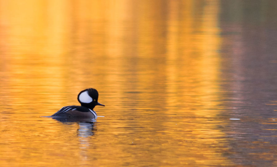 Hooded Merganser Animal Themes Animals In The Wild Animal Wildlife Beauty In Nature Reflection Nature Lake Water Bird Wildlife Photography Wildlife & Nature Nature Photography Autumn🍁🍁🍁 Natural Beauty Autumn Colors Wildlife
