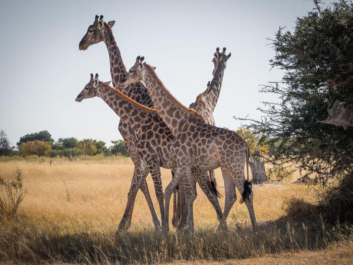 Group of giraffes standing on field against sky, moremi game reserve, botswana, africa