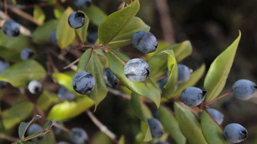 Close-up of fruits growing on plant