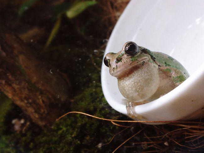 カエル 両生類 Terrarium Flog Amphibians Close-up