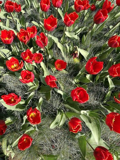 Backgrounds Full Frame Red No People Pattern Close-up Indoors  Day Flower Flowers,Plants & Garden Fowers Flowers Flower Collection Flower Head Nature Outdoors Netherlands The Netherlands Amsterdam Tulips🌷 Tulips Tulips Flowers Tulip Red Red Tulips The Street Photographer - 2017 EyeEm Awards