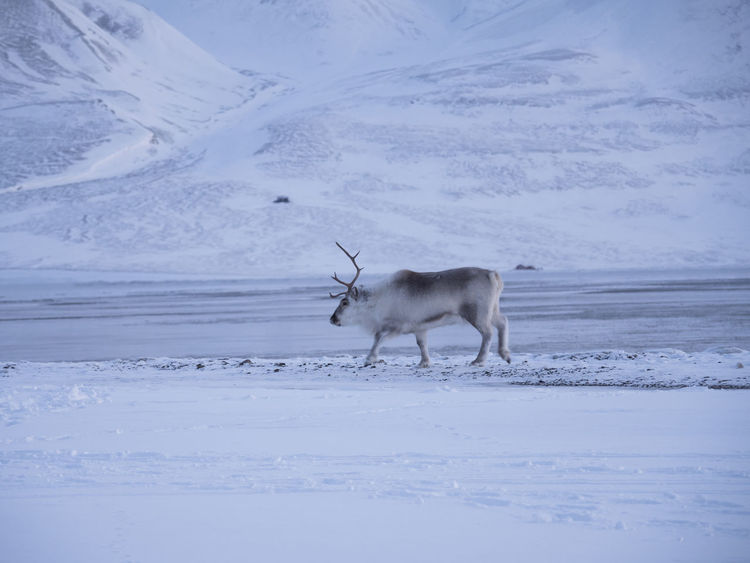 Animals In The Wild Arctic Beauty In Nature Cold Cold Temperature Longyearbyen No People Reindeer Spitsbergen Sunrise Svalbard  Wild Animal Winter