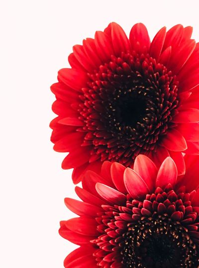 Close-up of red daisy against white background