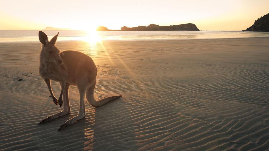 Kangaroo on beach against sky during sunset