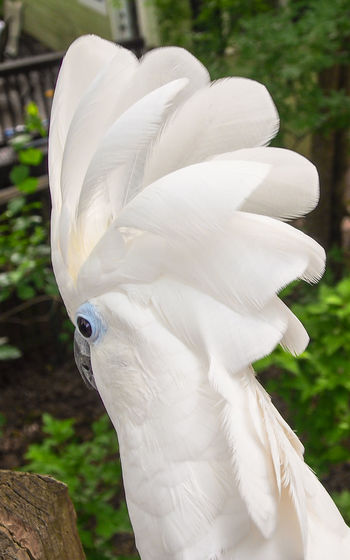 Clara the cockatoo Cockatoo Feathers Animal Themes Bird Close-up Crest Day Domestic Animals Exotic Pets Leafy No People One Animal Outdoors Parrot Pets Portrait White Color