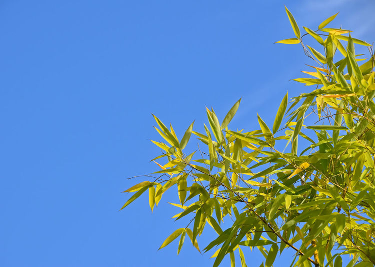 Brightly lit green leaves of bamboo over clear blue sky Plant Blue Growth Sky Clear Sky Low Angle View Copy Space Nature Beauty In Nature No People Plant Part Leaf Day Green Color Tree Tranquility Outdoors Sunlight Close-up Yellow Bamboo - Plant Bamboo Tree Branch Copy Space