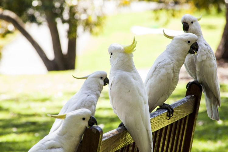 Gossip birds. Australia Australian Birds Cacatoes Cacatua Cacatuas Crest Crest Birds Kakatua Parrots Royal Botanic Gardens
