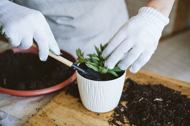 Home garden. how to transplant repot a succulent, propagating succulents. woman