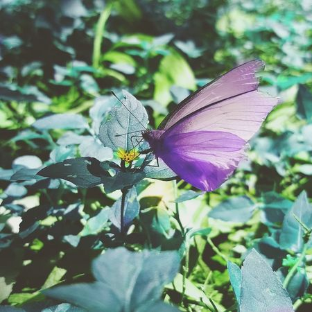 Insect One Animal Animal Themes Nature Butterfly - Insect Animals In The Wild Plant Purple Leaf No People Outdoors Animal Wildlife Beauty In Nature Fragility Day Flower Close-up Full Length Freshness Perching