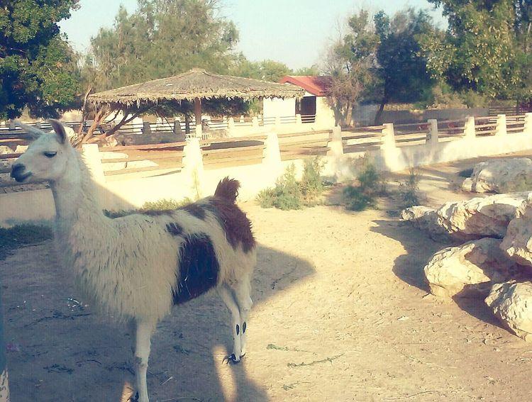 Llama Zoo Animals  Alareen EyeEm Gallery Eye Em Best Shots Animal Photography Animals Posing