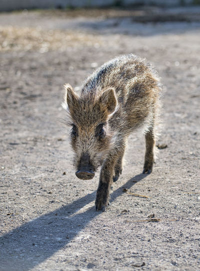 High angle view of animal walking on road
