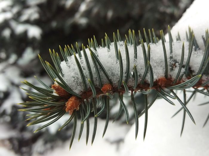 Winter Snow Pine Tree Cold Temperature Nature Focus On Foreground Needle - Plant Part Tree Close-up Outdoors No People Day Insect Beauty In Nature Ufa Russia Macro Photography Bashkortostan Macro Beauty Ufacity HTCOneM9 HTC_photography Relaxing Macro Nature