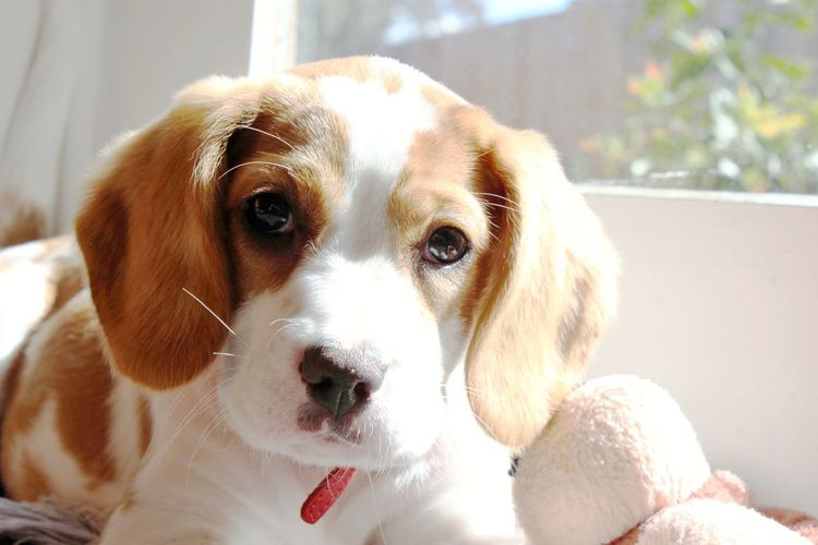 Beaglier Beagle