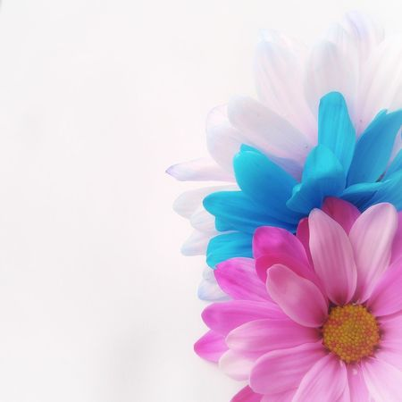 Blue Multi Colored Studio Shot Flower Flower Head Abstract Beauty White Background Close-up No People Layered Colors Layered EyeEm Best Shots Gerbera Daisy Daisy Backgrounds Pink Flower Pink Color
