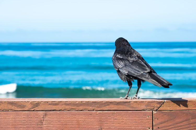 Raven On Fence Against Sea