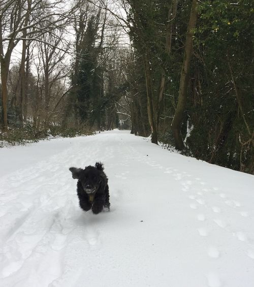 Spaniel loving the snow! Nailsworth To Stroud Cycle Path Morning Dog Walk Dog Having Fun Doggy Playing Snow Winter Animal Themes Cold Temperature Dog Pets Domestic Animals