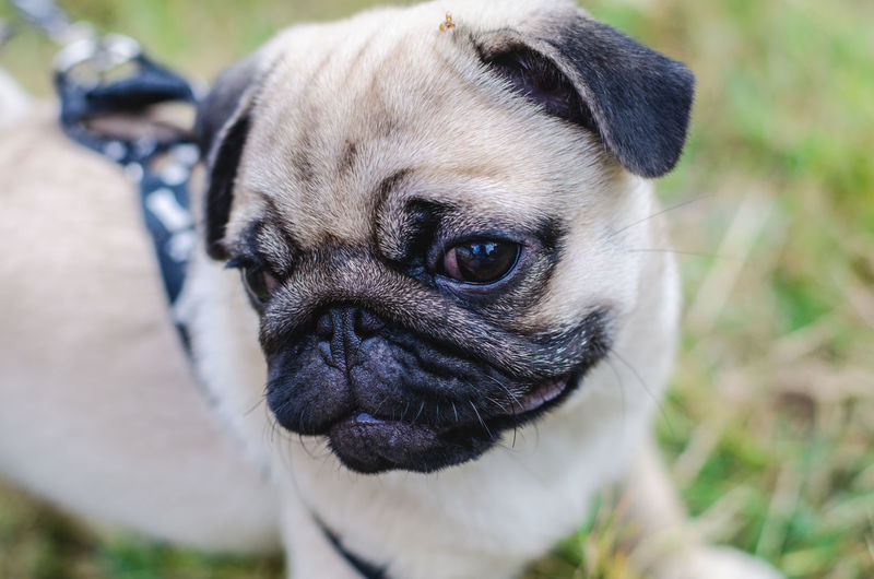 Animal Themes One Animal Animal Mammal Pug Domestic Animals Dog Pets Canine Domestic Lap Dog Vertebrate Focus On Foreground Portrait Small Close-up Day Looking At Camera Animal Body Part No People Animal Head  Purebred Dog