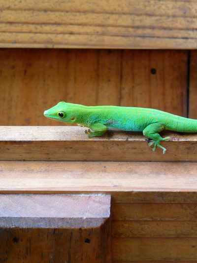 Animal Themes Animal Wildlife Animals In The Wild Close-up Day Gekko Auf Holz Green Animal On Wood Green Color Grüner Gekko Grüner Salamander Grünes Reptie Lizard Nature No People One Animal Outdoors Reptil Reptile Reptile Seychellen Wood - Material