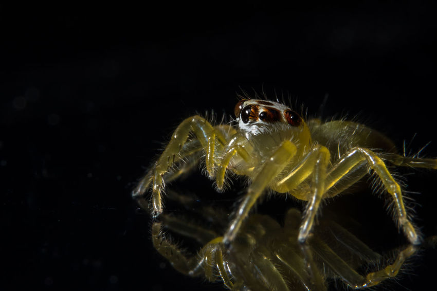 Take a close-up spider Animal Themes Animal Wildlife Animals In The Wild Black Background Close-up Jumping Spider Nature Night No People One Animal Outdoors Spider