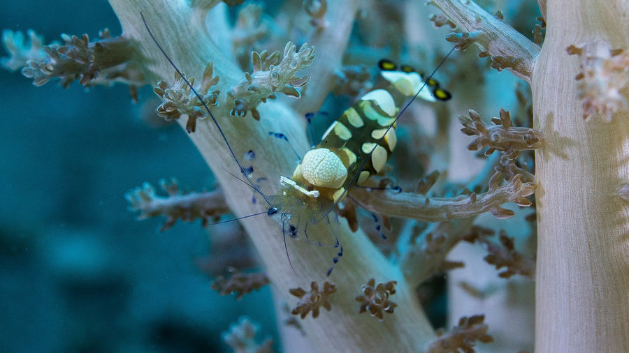 Shrimp on water plant in sea