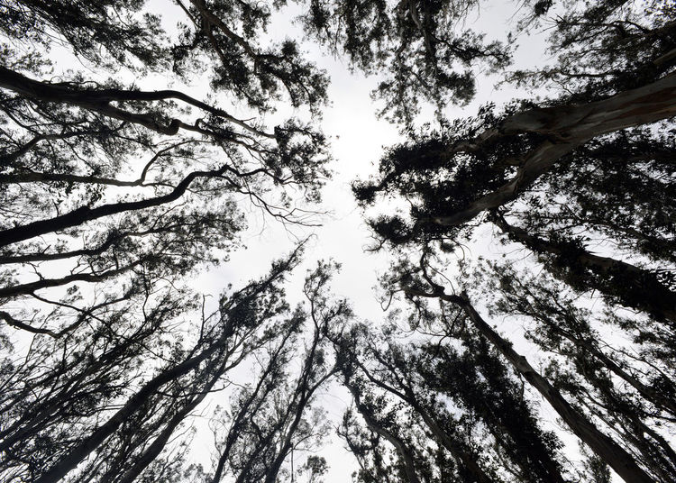 Beauty In Nature Branch Coniferous Tree Day Directly Below Forest Full Frame Growth Low Angle View Nature No People Outdoors Plant Scenics - Nature Sky Tall - High Tranquility Tree Tree Canopy  Tree Trunk Trunk