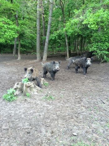 Wild Pigs Boars Forest Trees