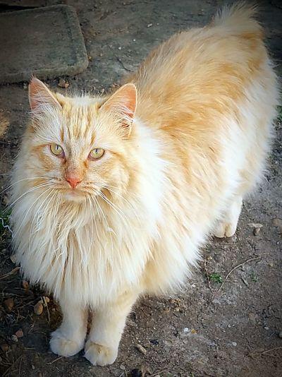 Cat Bobtail
