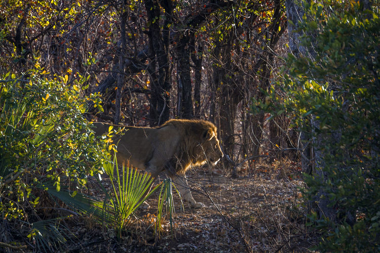 Side view of lion walking on land in forest