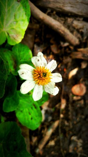 Daisy Flower Nature Photography Flower Flower Collection Simple Beauty Simplicity Is Beauty Cellphone Photography