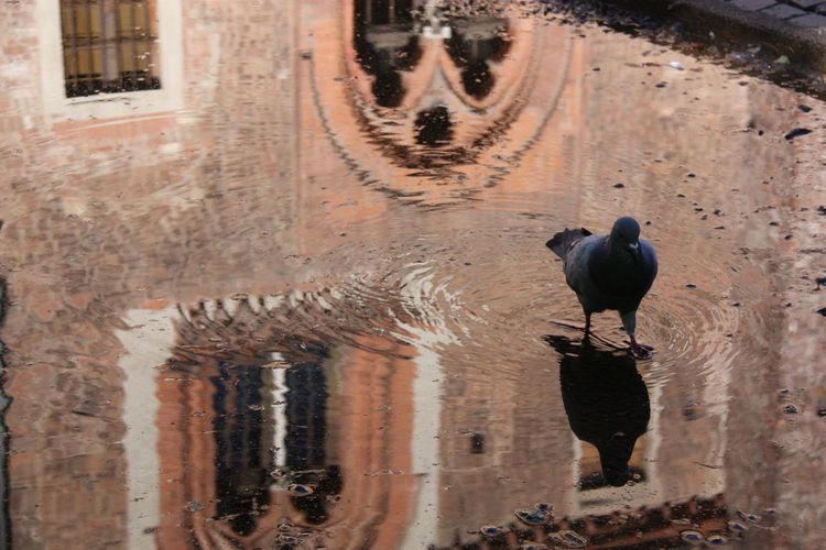 Riflessi ... Abbiategrasso - Italy Animal Photography Castello Visconteo Castle City Cute Day Historical Building Historical Monuments Nature No People Outdoors Pidgeonlife Pidgeons Pigeon Walking In The Water Reflections In The Water Water Reflections Showcase July Eyem Gallery Animal Themes EyeEm Gallery Eyem Nature Lovers  Color Of Life The City Light Pet Portraits