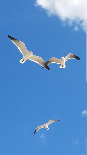 Flying Animals In The Wild Animal Wildlife Bird Spread Wings Blue Seagull Sky Sea Bird No People Outdoors Day Animal Wing Blue Sky Seagulls Seagulls Flying Over Me Seagull, Birds, Flight, Fly, Hover, Feathers, Wings, Beaks, Span, Seagulls, Beach Seagullspotting Seagulls Flying
