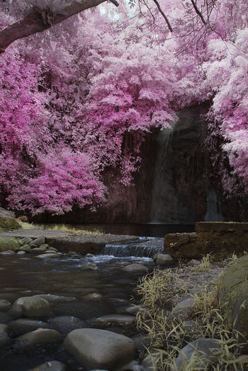 An infrared view of a small waterfall stream with pink foliage. Infrared Beauty In Nature Color Infrared Day Freshness Growth Infrared Photography Nature No People Outdoors Pink Foliage River Rock - Object Scenics Springtime Tranquility Tree Water Waterfall Yellow Grass