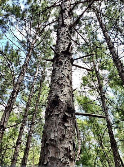 Looking up Perspectives on Nature Outdoor Photography Forest Walk Love Of Trees Still And Calm Silence Of Nature Reach For The Sky Stetch Look Up Tree Trunk Plant Tree Trunk Low Angle View Growth Nature WoodLand Beauty In Nature Tranquility Forest Branch Tall - High Sky Day Outdoors EyeEmNewHere