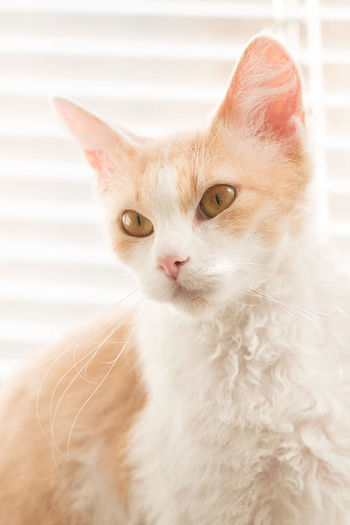 LaPerm cat. Breed Cat Cats Cats 🐱 Curly Hair La Perm LaPerm Natural Light Natural Lighting Photography