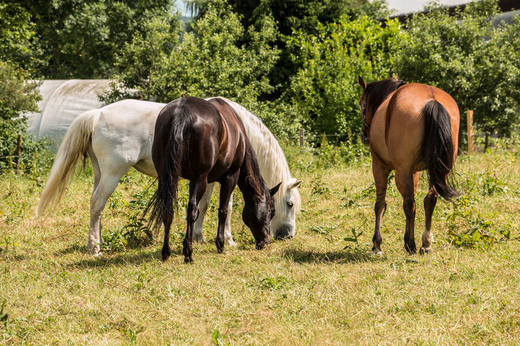 Horses on the green meadow Animal Animal Themes Animal Wildlife Day Domestic Domestic Animals Field Grass Grazing Group Of Animals Herbivorous Horse Land Livestock Mammal Nature No People Outdoors Pets Plant Tree Vertebrate
