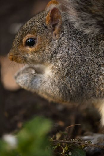 squirrel One Animal Animal Wildlife Animals In The Wild Close-up No People Animal Themes Portrait