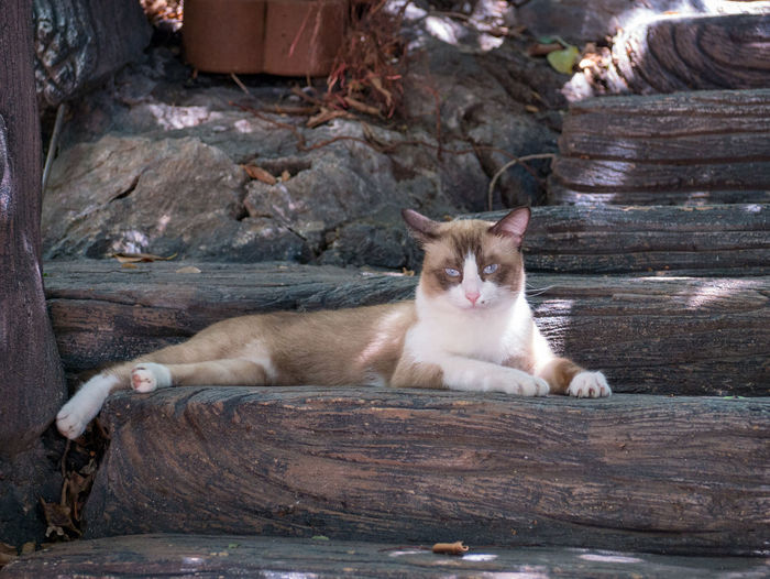 Thai cat Domestic Mammal Pets Domestic Animals Cat Feline Domestic Cat Vertebrate One Animal Wood - Material Relaxation Looking At Camera Portrait Day Sitting People Resting Whisker