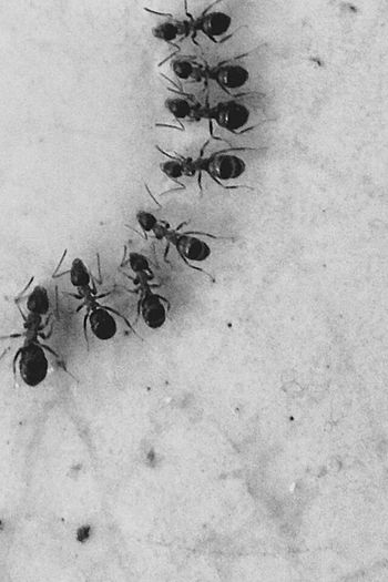 Ant No People Nature Animal Themes Ants Ants At Work Antsphotography Black Black & White Blackandwhite Black And White Animal Animals In The Wild Animals Animal Wildlife Insect Insects  Insects  Hexapoda Hymenoptera Ants Close Up