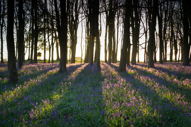 Backlit Bluebell Bluebell Wood Spring Springtime Sunbeam Sunrise Tree Trees Wood WoodLand