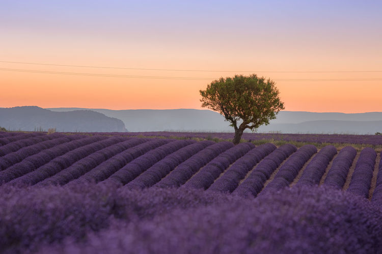 sunset over the lavenderfields in Valensole, France Lavender Field Sunset_collection Agriculture Beauty In Nature Environment Field Flower Flowerbed Flowering Plant Growth Land Landscape Lavender Nature No People Outdoors Plant Purple Rural Scene Scenics - Nature Sunset Sunsets Tranquil Scene Tranquility Tree