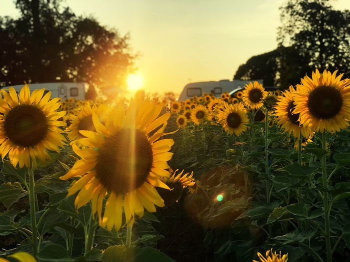 Sunflower garden on sunset twilight sky scenery Plant Flower Growth Yellow Flowering Plant Beauty In Nature Vulnerability  Fragility Flower Head Sunset Freshness Sky Nature Sunflower Inflorescence Petal Close-up Pollen No People Sunlight