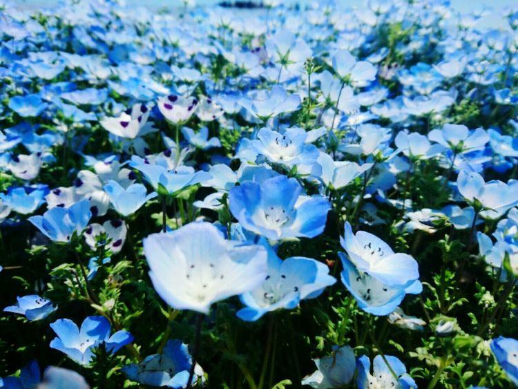 Flower Beauty In Nature Growth Nature Plant Freshness Close-up Day Outdoors Flower Head EyeEmNewHere Nemophila Japan Japan Photography HitachiSeaSidePark Hitachi Seaside Park Hitachi Hitachinaka-shi, Ibaraki Ibaraki-Japan Perspectives On Nature