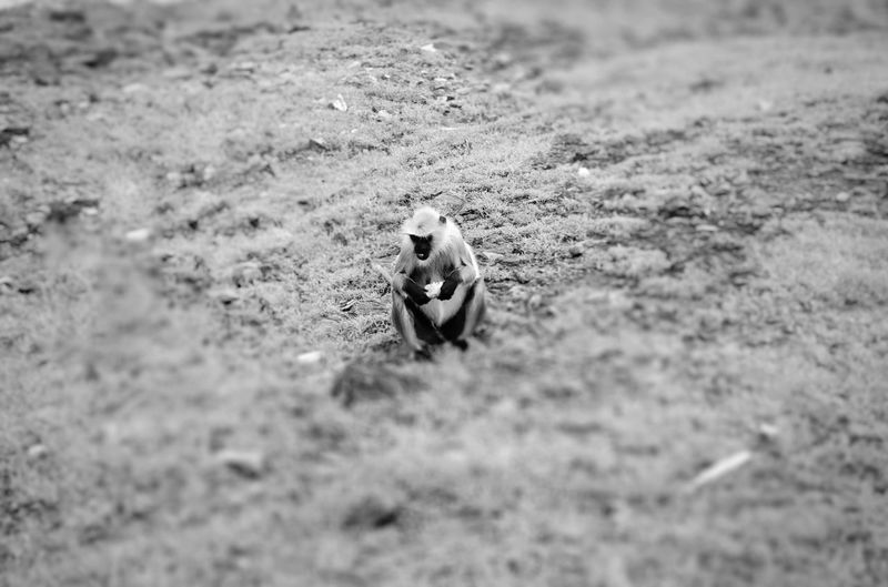 Monkey Eating Corn Sand Close-up Grass