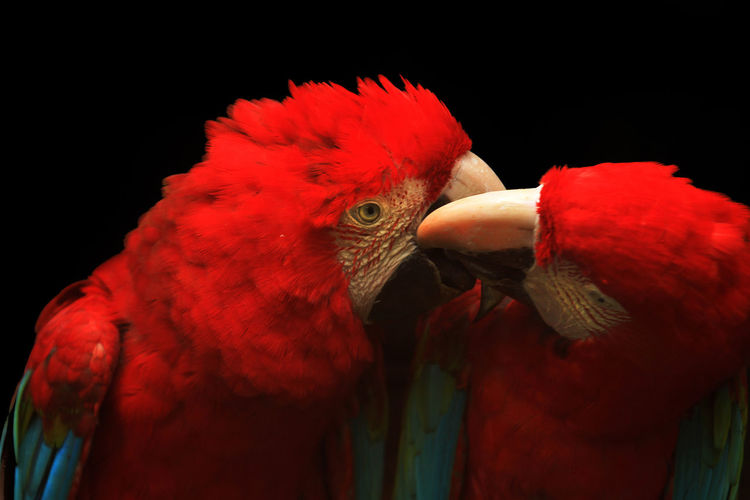 Close-up of parrots perching on black background