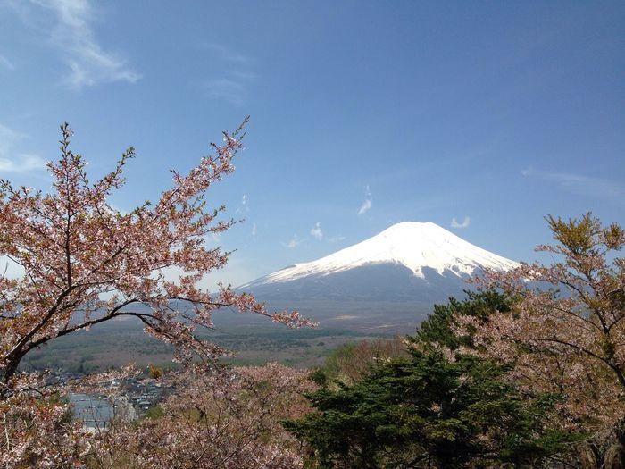 山梨 山中湖 富士山 富士桜