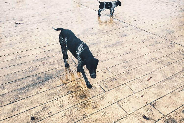 High angle view of dogs on boardwalk