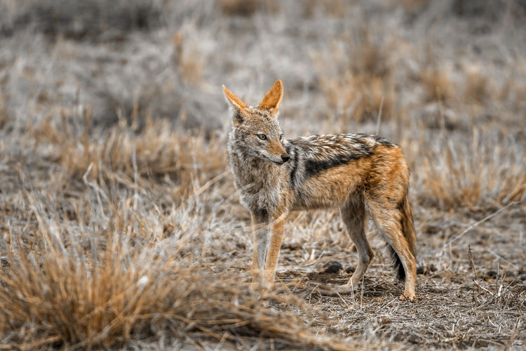 Jackal standing on land